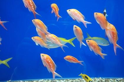 上を泳ぐ金魚