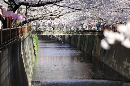 桜が満開の目黒川