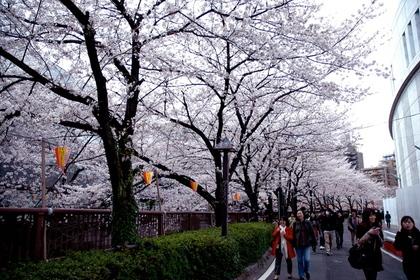 目黒川沿いに咲く満開の桜