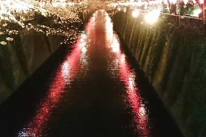 ライトアップしている目黒川の桜
