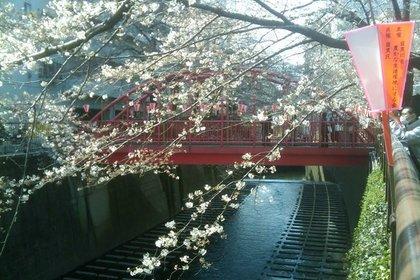 咲き始めた目黒川沿いの桜