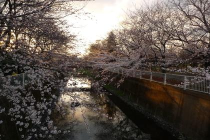 仙川沿いに咲く桜