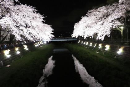 調布市にある野川の桜ライトアップ