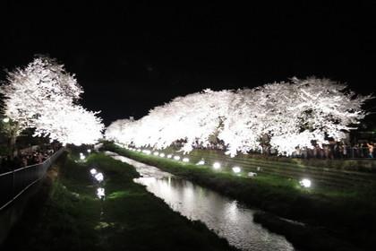 野川のライトアップされた満開の桜