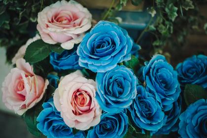 ピンクと青のバラ
