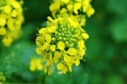 菜の花の咲く時期