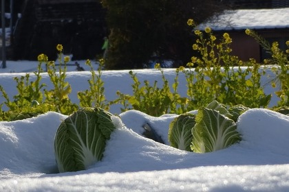 菜の花は野菜に分類